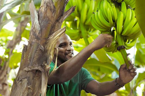 Ugpban | Banane de Guadeloupe & Martinique - Design & graphisme