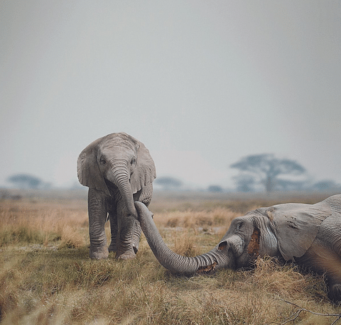 WWF. A bold campaign to save an endangered species