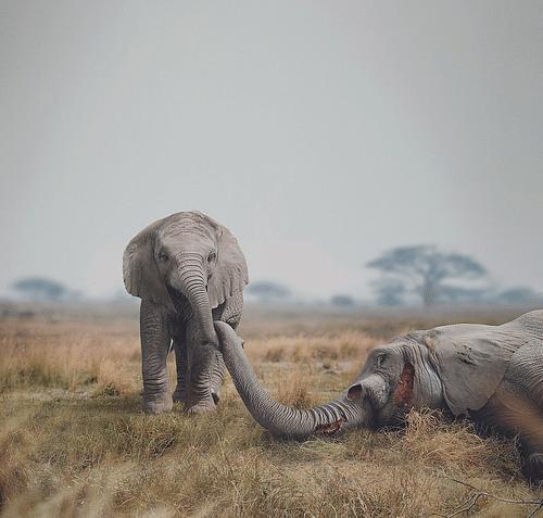WWF. A bold campaign to save an endangered species - Publicité